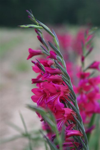 The true Southern Glad with striking magenta, this rare treasure requires no staking and is an April blooming jewel! Zones 6-10