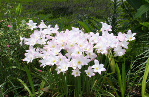 (1 Gallon Pot) Packed full of bulbs, this pot has pink rain lilies that send up 4-6 blooms each throughout entire season following summer rains. Performs well in full sun to a quarter day sun (i.e. does well in a lot of areas)!  Zones 7-10
