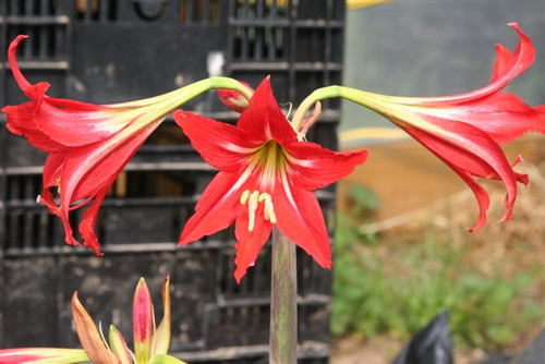 """✤ 4""""+ Bulb Red Amaryllis Easy Grow! Cold Hardy Zone 7B+ Hippeastrum sp"""