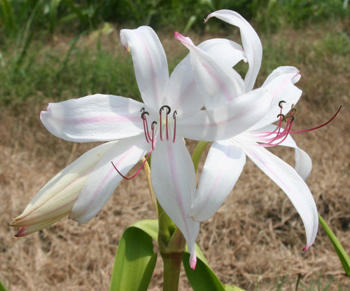 (Pack of 1) A strappy and tough white crinum.