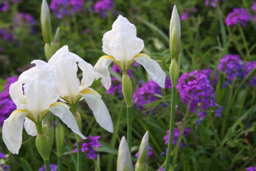 The cemetery white iris (Iris albicans) is aptly names because it can often be found blooming in cemeteries in late March to early April.