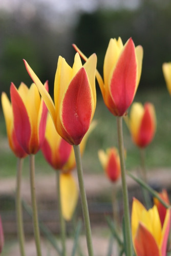 (Pack of 10) 'Tubergen's Gem' is a jewel of a flower with a velvet like dark yellow and red yellow combination of petals.