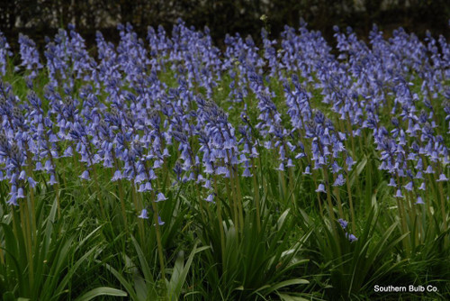 (Pack of 5) Spanish bluebells seen covering the ditches in England can also be seen thriving in abandoned sites as well as manicured gardens across the South. Their rich blue color, easy care, and stately form make them a favorite among many. Zones 6-9