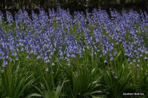 "Hyacinthoides hispanica ""Spanish Bluebells"" 10 bulbs for $20!"
