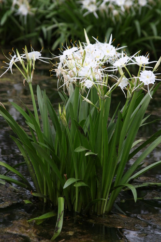 Available Now (1 Small to Medium Size Bulbs) Known as the 'Texas Spider Lily' because it is native to Texas! Also known as the White Spider Lily or Spring Marsh Spider Lily. This native bulb displays a white cup with skinny white petals accented by orange anthers and a light, sweet fragrance.  Zones 6-10