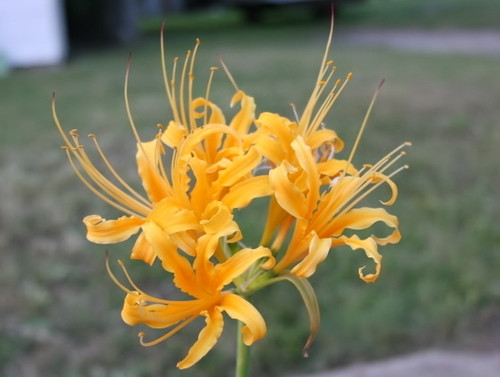 The yellow spider lily is a rare Asian beauty that glows yellow-gold like the sun with exotic, tropical blooms. Softball sized flowers stand atop 18-24'' stalks. This bulb is for warmer zones and climates. Add intriguing texture and new life to your fall landscape with the yellow spider lily. Zones 8b-10
