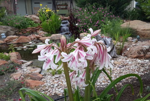 Crinum Milk & Wine Lily - Large