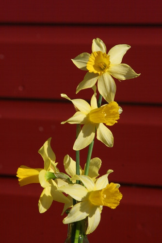 (Pack of 5) A heart warming early blooming daffodil that reliably signals spring every year. Zones 4-9