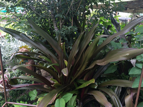 Valued for it's great form and foliage!