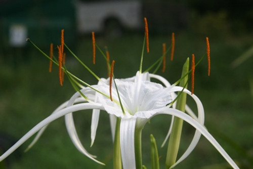 (Pack of 1) - Large, clean foliage perfect for landscaping -- with a spidery summer bloom.  Zones 8-10