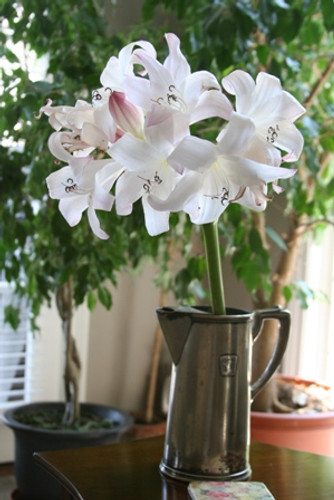 (Pack of 1) Allow the sweet but not overpowering fragrance of this repeat summer blooming crinum entertain you and guests.