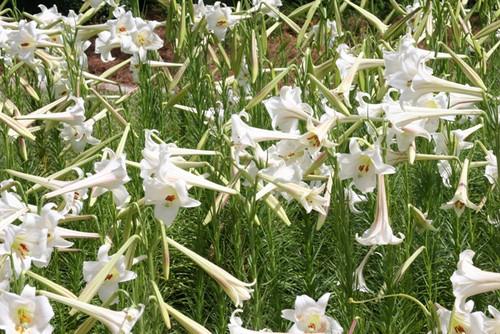 "Tall Philippine Lily - 4"" Pot (4 pots)"