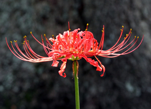 """(Pack of 3 LARGE Bulbs)  The Red Spider Lily: The true Southern triploid, this bulb is often called the 'surprise lily' for its sudden September blooms or """"hurricane lily"""" as the large amounts of rain brought from hurricanes can trigger a bloom. Zones 6-10"""