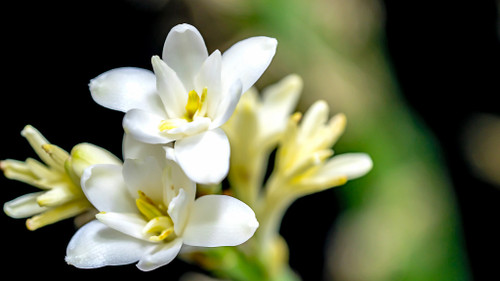 Tuberose 'Single Flower' (15 tubers)