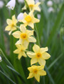 Narcissus x intermedius 'Texas Star'