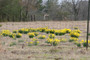 "Narcissus x odorus ""Campernelle"""
