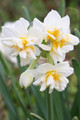 (Pack of 3) Wonderful citrus fragrance with long-lasting clusters of orange and white blooms. Zones 8b-10