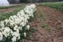 Narcissus tazetta  'Grand Primo'