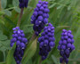 "Muscari neglectum ""Grape Hyacinth"""