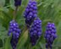 """Muscari neglectum """"Grape Hyacinth"""""""