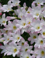 Packed full of bulbs, this pot has pink rain lilies that send up 4-6 blooms each throughout entire season following summer rains. Performs well in full sun to a quarter day sun (i.e. does well in a lot of areas)!  Zones 7-10