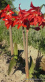 (Pack of 1) Many consider the St. Joseph's lily to be one of the best and toughest amaryllis on the market.  Zones 7-10