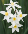 (Pack of 3)  Available Now! A pointed petal variant to the Grand Primo, Italicus produces clusters of pleasant scented star shaped blooms in January. Zones 8-10