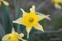 (Pack of 5) Believed to be the parent of trumpet daffodils, this cold-hardy heirloom bulb offers a pleasant fragrance and yellow trumpet blooms.Zones 6-8