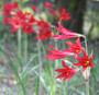 Available Summer 2013! (Pack of 2) A September bloomer with 3 stark red blooms on each stalk. When this bulb blooms, it means cooler temperatures are on the way. Zones 6-10