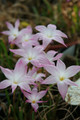 (Pack of 3) Offers a series of 3-4 pink blooms throughout the end of summer. Strong summer bulb for warm climates! Zones 6-10
