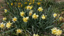 """A cold-hardy bulb with a """"scrambled"""" appeal, often found in gardens generations ago. Zones 6-8"""