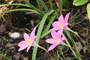 Zephyranthes Pink Rain Lily - Zephyranthes grandiflora (40 bulbs)