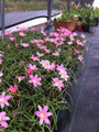 Available Now! - (Pack of 10) Offers 2-5 blooms throughout entire season following summer rains. Performs well in full to sun to part shade.   Zones 8-10