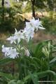 Crinum powellii Album - 'White Crinum Lily'