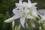 (Pack of 1) A wonderfully tough white crinum. Can be planted through the fall in the South before winter sets in. Zones 7-10