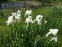 The cemetery white iris (Iris x albicans) will eventually make nice clumps of large white flowers.