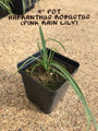 """Habranthus Pink Rain Lily - 4"""" pot (4 for $20)"""