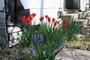 "Tulipa praecox ""Texas Tulip"""