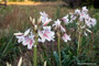 Crinum Milk & Wine Lily - Jumbo Size