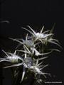 Hymenocallis liriosme (native) - 'Texas Spider Lily'  2 Bulbs!