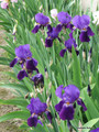 (Pack of 2) This is the old fashioned heirloom purple colored German bearded iris. Its rich violet-purple blooms emit a strong, honey sweet fragrance. Our first time to offer this heirloom! Large, healthy tubers. Zones 6-10