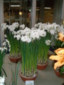 (3 bulbs) Paperwhites Forcing Kit! - For Winter Holiday Blooms - 3 'Inbal' paperwhite bulbs complete with eco-friendly rice-hull pot, and 2 soil wafers.