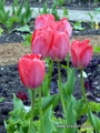 "(Pack of 5) PRE-CHIILLED AND READY TO PLANT. This dark pink-to-red mid-spring bloomer is sure to add ""pop!"" to your garden. Makes a terrific border or stand-alone display. Provides a lovely, single- year bloom (not perennial for the South). Zones 3-9. This tulip requires 8-12 weeks of refrigeration."