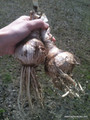 Available Now!  - Amarcrinum howardii (Crinodonna) (1 bulb) Zones 8-10