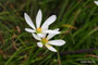 A  white rain lily for wet conditions. Zones 7-10