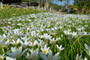 (Pack of 10) - A  white rain lily for wet conditions. Zones 7-10