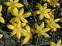 Available Now! - (Pack of 10!) - A rare yellow rain lily for the South. Zones 7-10