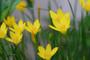 Yellow Rain Lily (40 bulbs)