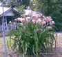 (Pack of 1) One bulb quickly grows into large clumps of five or more bulbs and send up two to three bloom stalks every year. Zones 7-10