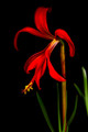 The beautiful color and form of the Aztec lily.